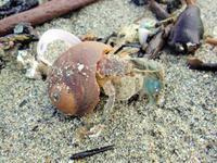 鎌倉 由比ヶ浜で貝ひろい その2 - かさぶたろぐ