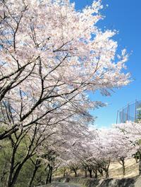 桜便り - カメラを持って出かけよう