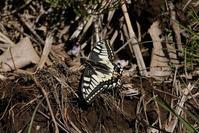 ■この春・新顔の虫たち19.4.13(キアゲハ、シオヤトンボ、アカボシゴマダラ) - 舞岡公園の自然2
