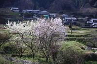 明日香~八講桜~箸中3月31日 - ratoの山歩き