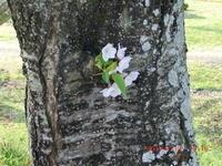 桜が終り蓮華草が目立つ - 家の周りの季節感