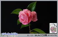 「花たち - ねんねこ乙女椿(オトメツバキ)」 - デジカメ散歩写真