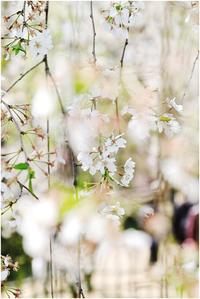 京都御苑の枝垂れ桜 - HIGEMASA's Moody Photo