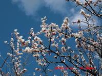 梅の花・・・たぐり寄せる光景 - 花立の花情報