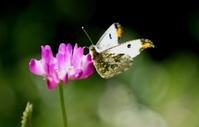 2019スプリングエフェメラルその4 - 紀州里山の蝶たち