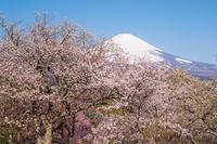 御殿場桜めぐり - エーデルワイスPhoto