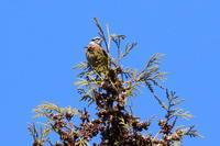 ホオジロほか - 今日の鳥さんⅡ