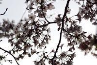 和光での今年最後の桜。たぶん、、 - デジカメ一眼レフ開眼への道