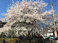 桜をめぐって - おさんぽ日記