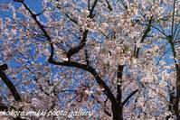 「桜から芝桜へとゆるキャラ」 - こころ絵日記 Vol.2
