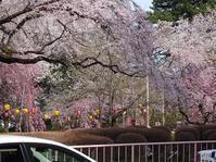 公園とお寺は花盛り - blueletter