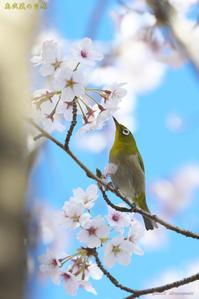 桜とメジロ - 奥武蔵の自然