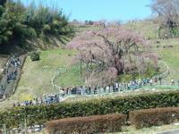 阪急トラピックスで行く三春滝桜と若冲観賞の日帰り旅その1三春滝桜 - ふつうの生活 ふつうのパラダイス♪