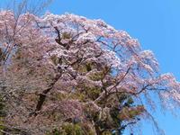 平成最後の圧倒的桜。 - ふつうの生活 ふつうのパラダイス♪