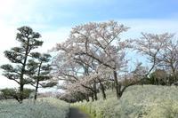 2019 桜撮影遠征-愛知-県緑化センター - さんたの富士山と癒しの射心館