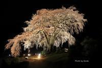 2019 桜撮影遠征-岐阜-水戸野桜- - さんたの富士山と癒しの射心館