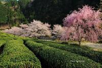 2019 桜撮影遠征-岐阜-桜番外編 - さんたの富士山と癒しの射心館
