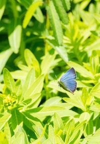 春のシジミチョウ満喫in2019.03.24~04.13南関東 - ヒメオオの寄り道