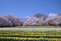 山高神代桜と わに塚の桜ツーリング! - Motorradな日々 2