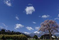 孤高の桜 - 江戸彼岸桜 - - がらくーた**