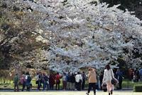 皇居の桜 - Taro's Photo