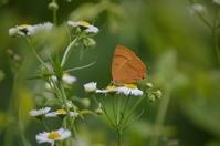 15ムモンアカシジミ「蝶図鑑」 - 超蝶
