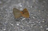16アイノミドリシジミ「蝶図鑑」 - 超蝶
