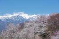 桜前線*北上ちう! 1 - 気ままにお散歩