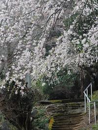 栃木しだれ桜巡り大山寺2 - 光の音色を聞きながら Ⅳ