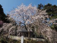 栃木しだれ桜巡り大山寺ラスト - 光の音色を聞きながら Ⅳ