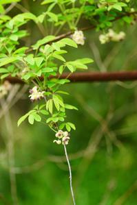 アケビの花 - hanako photograph