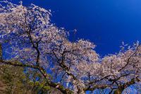 桜咲く京都2019岩屋寺のしだれ桜 - 花景色-K.W.C. PhotoBlog