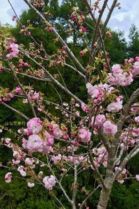 2019 桜いろいろ - はな花季行/おっ!オッ?