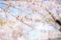 名残の桜 - jumhina biyori*