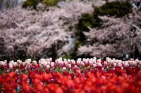 2019 Tulip week on friday - 感動模写Ⅱ