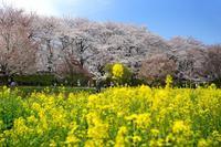 権現堂公園2019-04-21更新 - 夕陽に魅せられて・・・