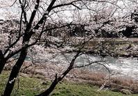 9日と10日の桜 - 金沢犀川温泉 川端の湯宿「滝亭」BLOG