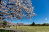 菜の花と桜 - あだっちゃんの花鳥風月