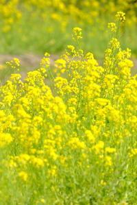 菜の花も咲く - 平凡な日々の中で