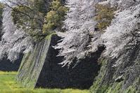 名古屋城の桜 - 尾張名所図会を巡る