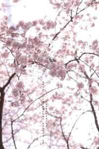 枝垂れ桜 - cache-cache