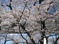平成最後の桜 - 歴史と、自然と、芸術と