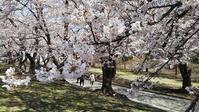 赤城の千本桜とアカヤシオ@2019の桜 - e-voyage