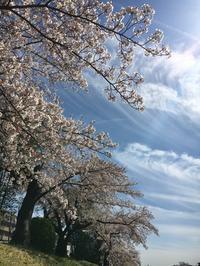 高野川 満開の花見🌸 - 京都西陣 小さな暮らし