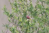 新芽のヤナギに咲いたベニの華(12) - 彩の国 夢見人のフォト日記