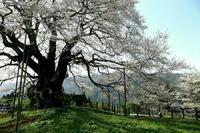 岡山県の醍醐桜 - 写真巡礼「日本の風景」