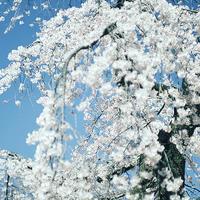 刹那な季節到来平成最後のしだれ桜小石川後楽園19.03.24 11:29 - スナップ寅さんの「日々是口実」