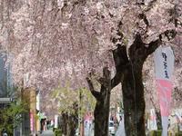 『参道の枝垂桜と伊奈波さん』 - 自然風の自然風だより