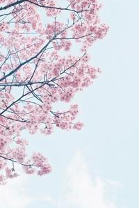 桜 ISO100編 その4 - photomo