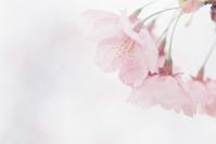 桜 ISO100編 その5 - photomo